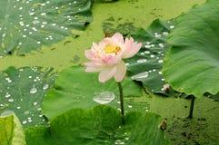 пруд лотоса Стоковое Фото