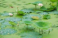 пруд лотоса Стоковая Фотография RF