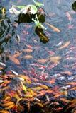пруд лотоса koi Стоковое фото RF