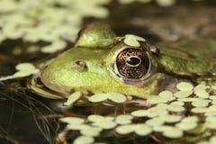 пруд лягушки зеленый Стоковое Изображение