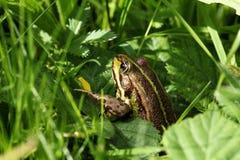 Пруд лягушки между травами Стоковое Фото