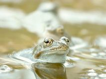пруд лягушки пущи Стоковые Изображения