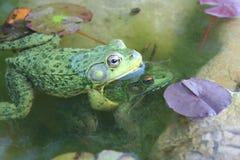 пруд лягушки Стоковое Фото