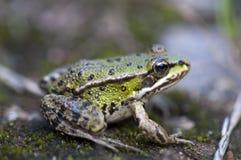 пруд лягушки Стоковая Фотография