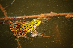 пруд лягушки Стоковое Изображение RF