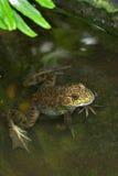 пруд лягушки Стоковые Изображения