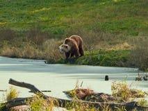 пруд медведя коричневый Стоковая Фотография RF