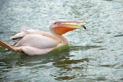 пруд пеликана wading белизна Стоковое Изображение RF