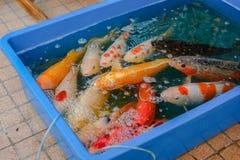 Пруд причудливых рыб карпа ждать Стоковая Фотография RF