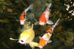 пруд рыб Стоковая Фотография RF