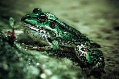 пруд сада лягушки Стоковое Изображение
