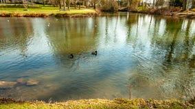 Пруд с кристально ясной водой с утками плавая спокойно стоковые изображения