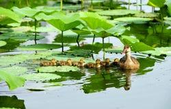 пруд утки Стоковое фото RF