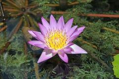 пруд цветка стоковая фотография rf
