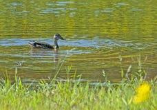 пруд черной утки Стоковое Изображение RF