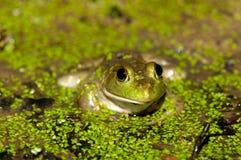 пруд bullfrog Стоковые Фотографии RF
