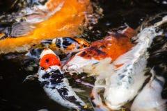 пруд koi рыб Стоковое Изображение RF