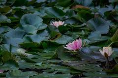 Пруд 6 лилии воды Стоковое фото RF