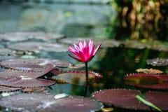 Пруд лилии с изумительными цветами Стоковые Изображения