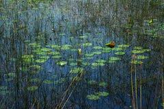 Пруд лилии с ярким отражением голубого неба и зелеными цветами Стоковые Фото