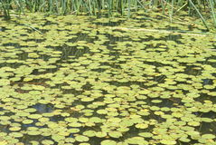 Пруд лилии Стоковое Изображение RF