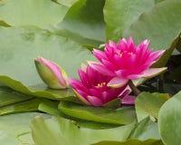 Пруд лилии Стоковое Изображение