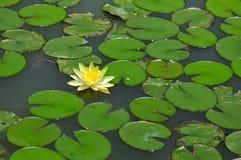 пруд лилии Стоковые Фото