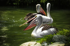 Пруд окружен травой 3 пеликаны плавают на солнечный день стоковые фотографии rf