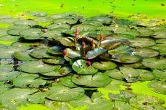 Пруд лотоса в парке Стоковая Фотография