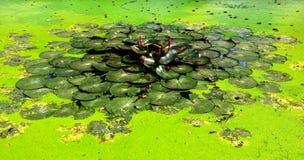 Пруд лотоса в парке Стоковое Изображение