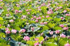 пруд лотоса розовый стоковая фотография rf
