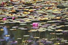 Пруд пусковой площадки лилии Стоковое Фото