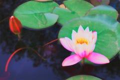 Пруд с цветками лотоса Стоковое фото RF
