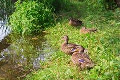 Пруд утки, в зеленой траве Стоковые Фотографии RF
