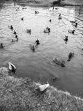 пруд уток Стоковые Изображения RF