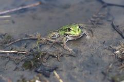 пруд лягушки зеленый Стоковые Изображения
