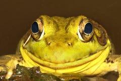 пруд лягушки зеленый Стоковые Изображения RF