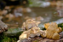 пруд лягушки тайский Стоковые Изображения RF