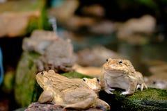 пруд лягушки тайский Стоковая Фотография