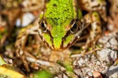 Пруд лягушки - Pelophylax esculentus Стоковое Фото