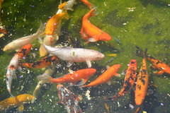 пруд koi рыб Стоковое фото RF
