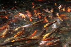 пруд ornamental koi рыб вырезуба Стоковая Фотография