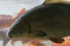пруд ornamental koi рыб вырезуба Стоковые Фотографии RF