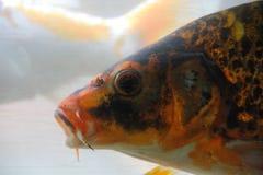 пруд ornamental koi рыб вырезуба Стоковое фото RF