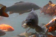 пруд ornamental koi рыб вырезуба Стоковое Изображение RF
