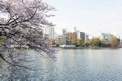 Пруд Shinobazu при окруженные цветения Сакуры Стоковое Изображение RF