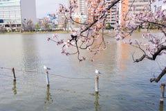 Пруд Shinobazu при окруженные цветения Сакуры Стоковая Фотография RF