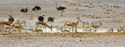 Прыгуны и ostrichs на waterhole, Намибии Стоковое Изображение