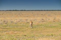 Прыгун для еды травы на намибийском хлебе вышесказанного стоковое фото rf