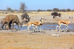 Прыгун и kudu на тинном waterhole Стоковые Фотографии RF